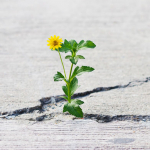 yellow flower growing on crack street, soft focus, blank text